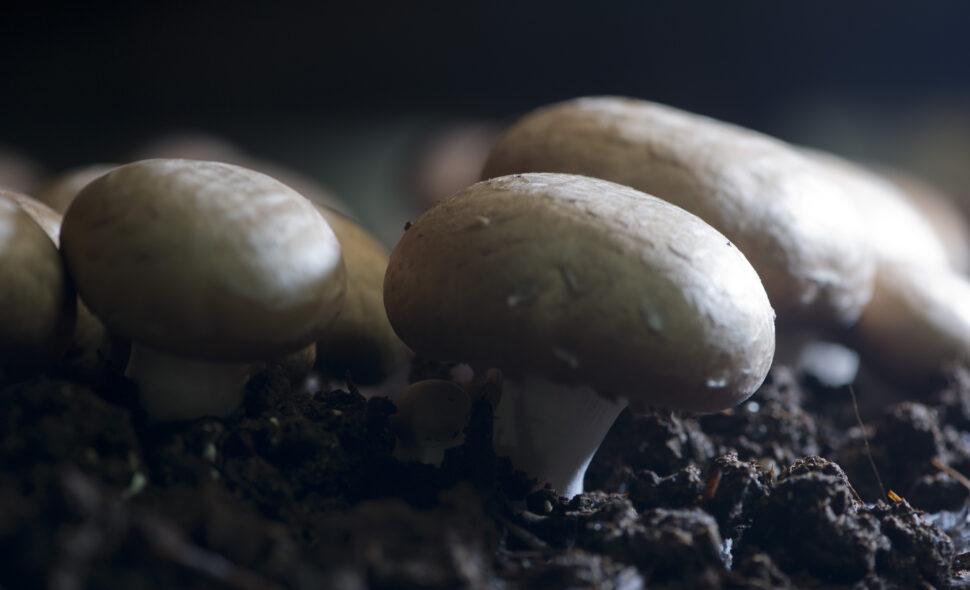 Loose Mushroom